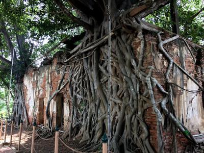 Pho tree holding up one corner of the ubosot